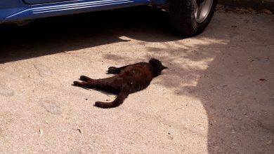 Photo of Μια ακομη νεκρή γάτα. Ο Δήμος Λημνου το ψάχνει για την επιβολή κυρώσεων…