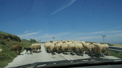 Photo of Στη Λήμνο τα πρόβατα έχουν προτεραιότητα !